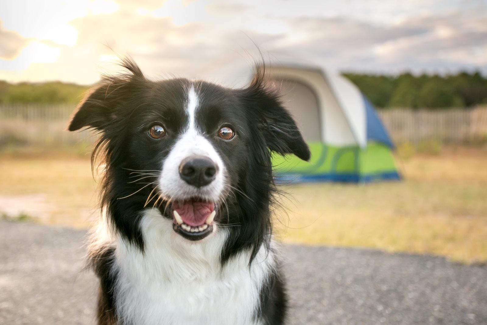 Neugieriger schwarz-weisser Hund steht vor einem Zelt