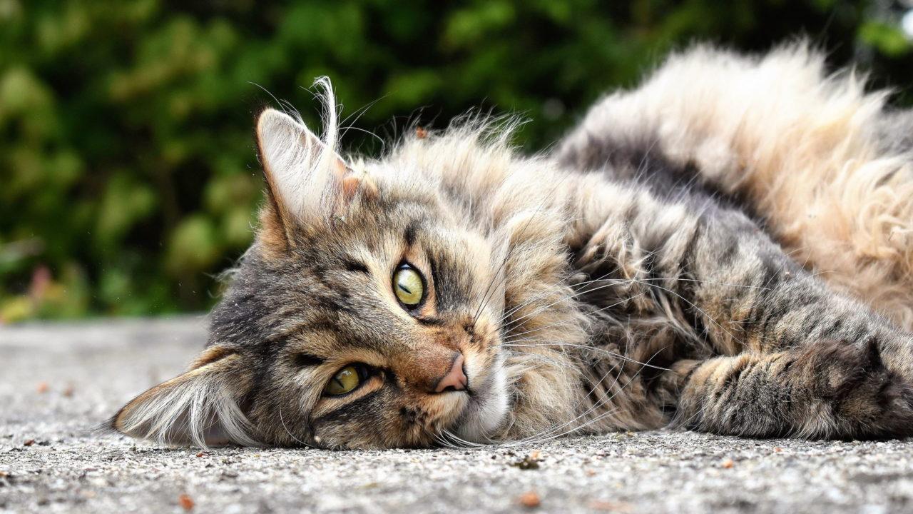 Eine neugierige Langhaar-Katze liegt auf dem Boden