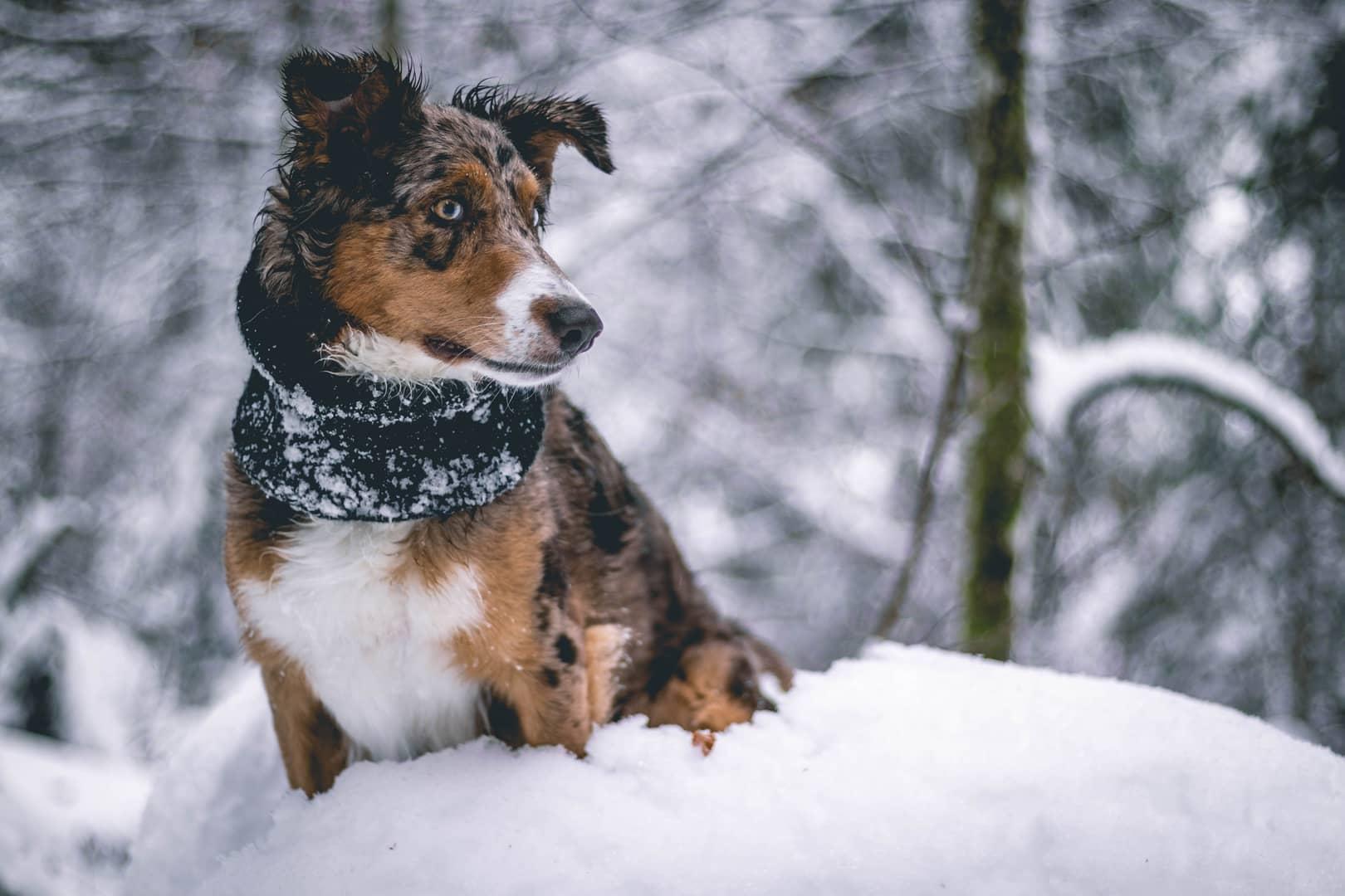 hund im schnee mit schal