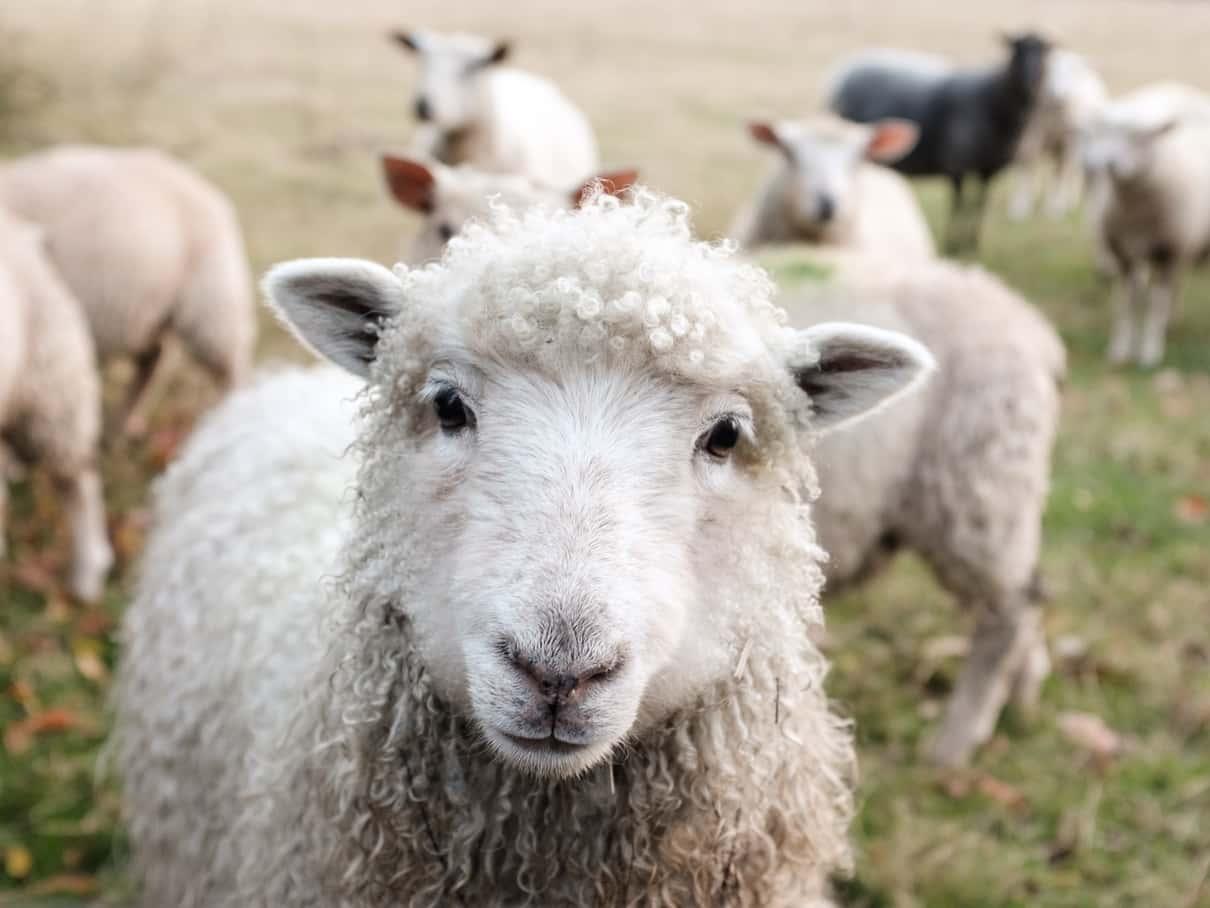 Schafe auf Farm